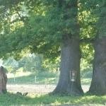 Památné stromy (na golfovém hřišti u penzionu)